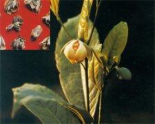 广东合欢花