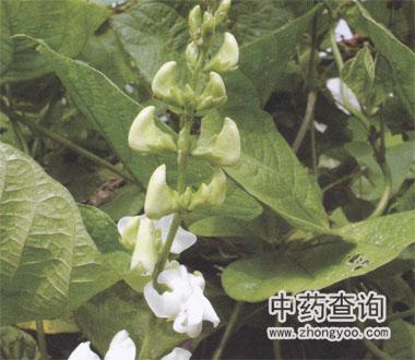 白扁豆源植物扁豆