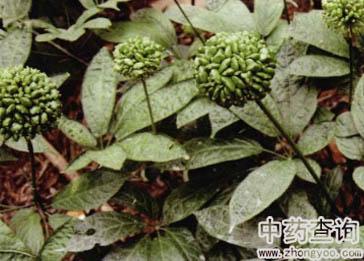 三七原植物图片