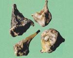 山慈菇图片