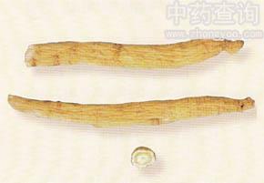 西洋参长枝(栽培种洋参)